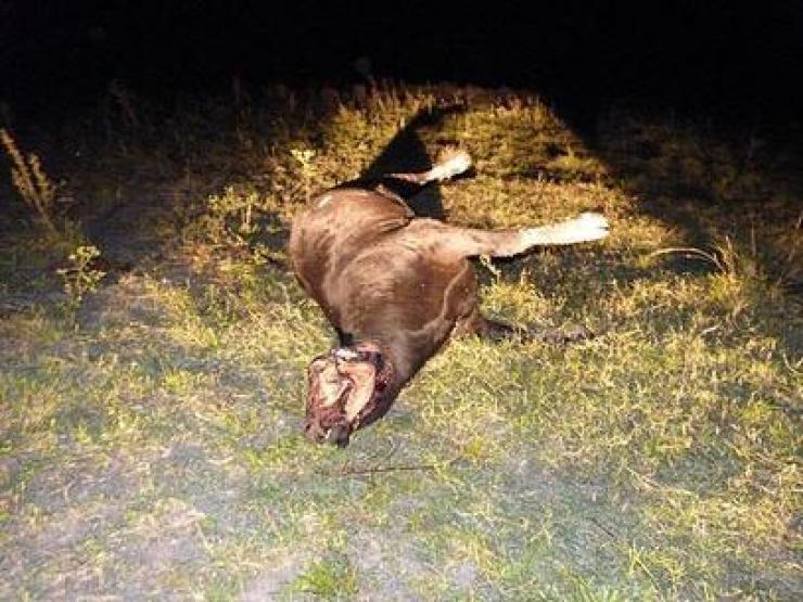 Extrañas mutilaciones de ganado: La Bestia de La Pesga