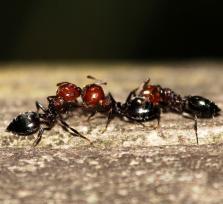"""¿Destruyó una plaga de hormigas asesinas """"Cheles el viejo""""?"""